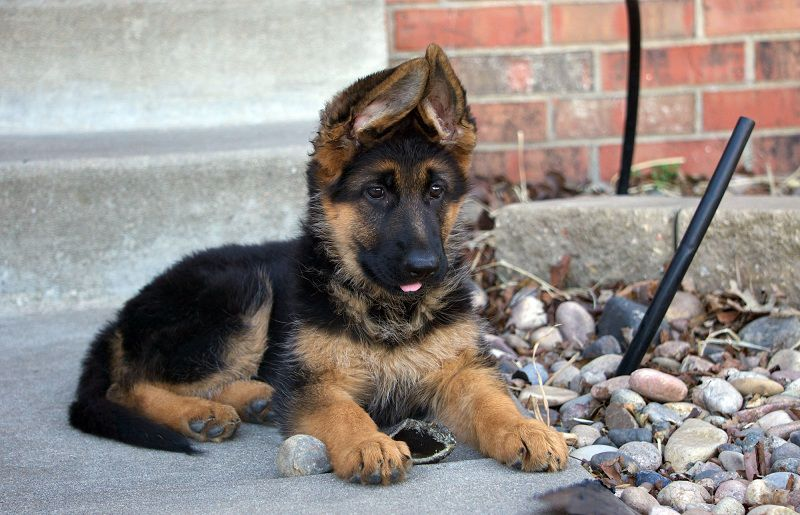 German Shepherd price range. How much are german shepherd puppies