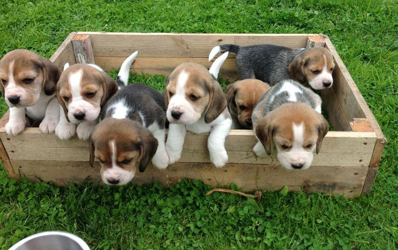 Beagle puppy price range. How much are Beagle puppies?