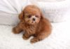 Teacup & toy Poodle price range. Mini & standard Poodle puppies price