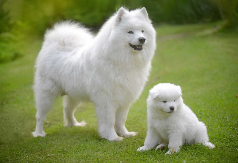 Samoyed puppy price range & cost. How much are samoyed dogs?