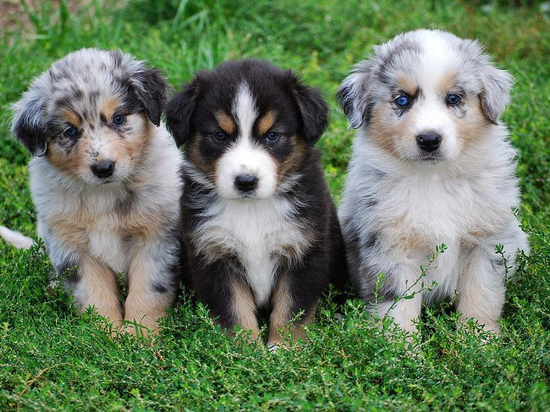 Australian Shepherd price range. Where to buy Australian Shepherd puppies