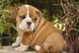 English Bulldog price range. How much does a English Bulldog puppy cost?