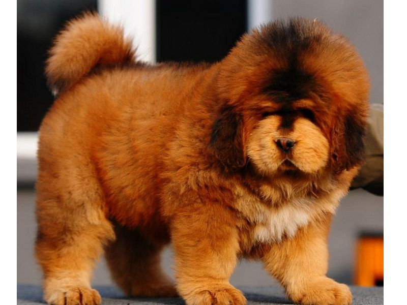 Tibetan Mastiff dog price range. How much does a Tibetan Mastiff cost?