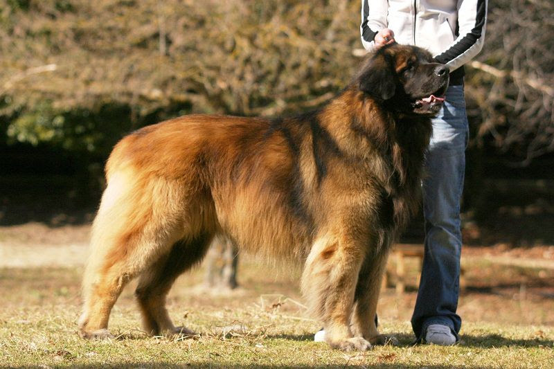 Leonberger price & cost range. Where to buy Leonberger puppies?