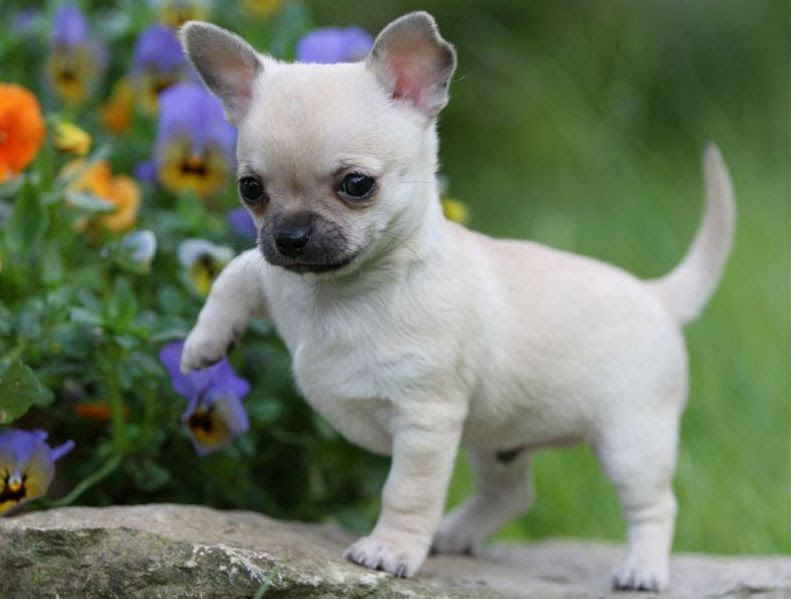 Chihuahua price range. Chihuahua puppies cost? Where to buy Chihuahua puppies?