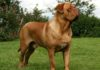 French Mastiff price range. Dogue de Bordeaux puppies cost