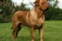 French Mastiff (Dogue de Bordeaux) price range. French Mastiff puppies cost