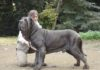 Neapolitan Mastiff price & cost range. Where to buy Neapolitan puppies?