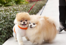 [Images] The Cutest & Fluffiest Pomeranian Boo Images