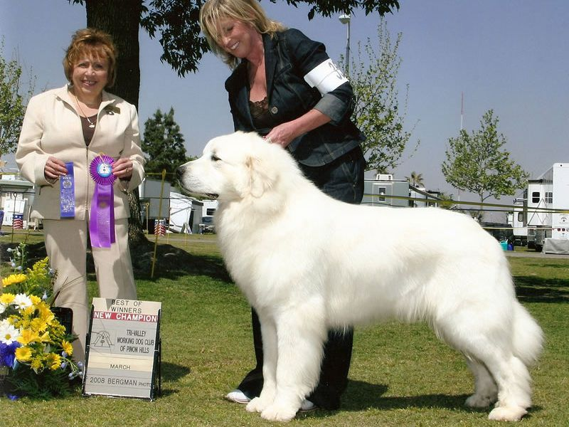 Great Pyrenees for sale price range. How much do Great Pyrenees cost?