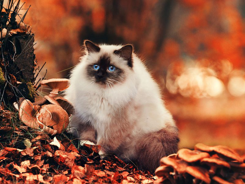 Himalayan cat price range. Himalayan for sale cost. Himalayan breeders