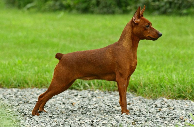 Miniature Pinscher price range. How much do Minpin puppies for sale cost?