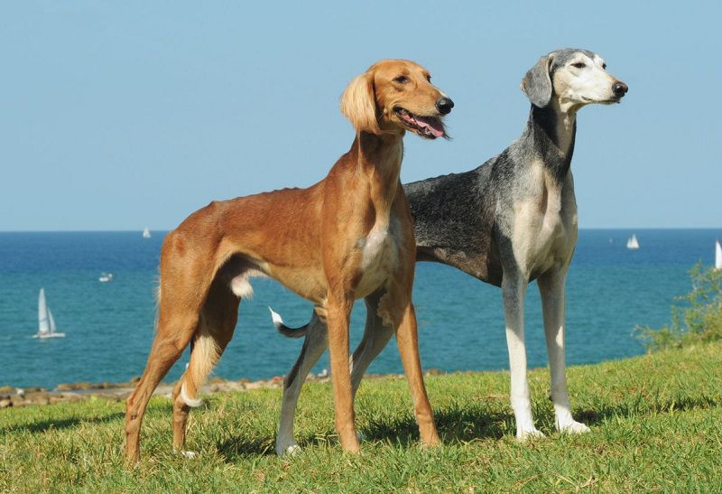 Saluki dog price range. Saluki puppies for sale cost from best breeders & websites