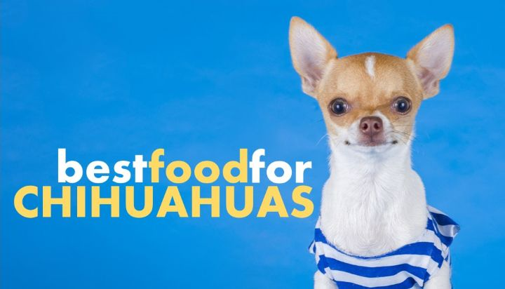 Best dog food for Chihuahua puppy. What to feed Chihuahua puppies?