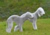 Bedlington Terrier price & cost. Bedlington puppies for sale price range
