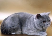 British Shorthair price range. British Shorthair kittens for sale cost