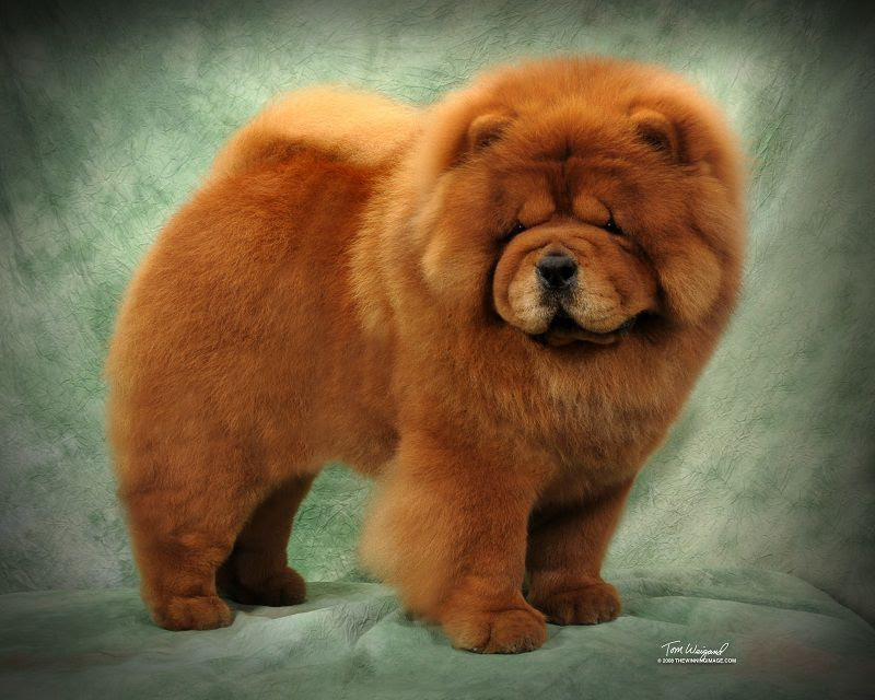 Chow Chow temperament & characteristics. Chow Chow breed information