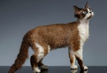 Devon Rex price range. Where to find Devon Rex kittens for sale?