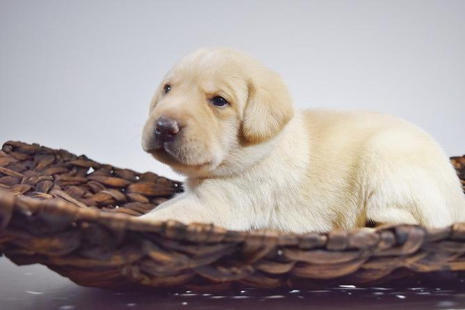 Mabry Labradors, Breeder in Illinois. Labrador puppies for sale in Mabry
