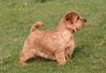 Norfolk Terrier price & cost. Norfolk Terrier puppies for sale price range