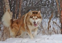Kingfisher's Alaskan Malamutes - breeder in Alaska. Malamutes for sale in Kingfishers