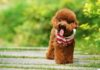 Poodlesizes & Poodletemperament. How to take care of the Poodle?