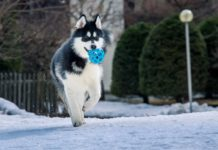 How to take care of Alaskan Malamute? Alaskan Malamute training