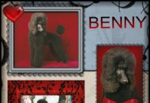 Vic-Tori Standard Poodles - Breeder in Missouri. Poodle puppies for sale in Vic-Tori kennel