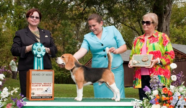 Lolavi Beagle kennels - breeder in Florida. Beagle for sale price in Florida