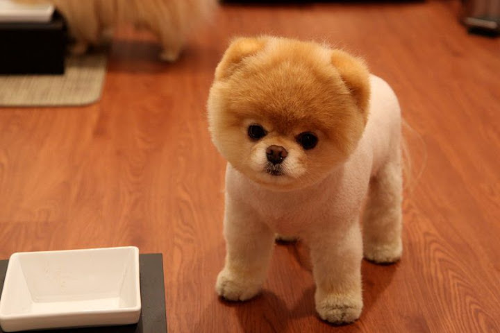 Boo Dog Price Pomeranian