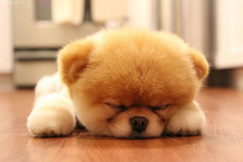 Boo Dog Price Pomeranian Boo Price How Much Does A Boo Dog Cost