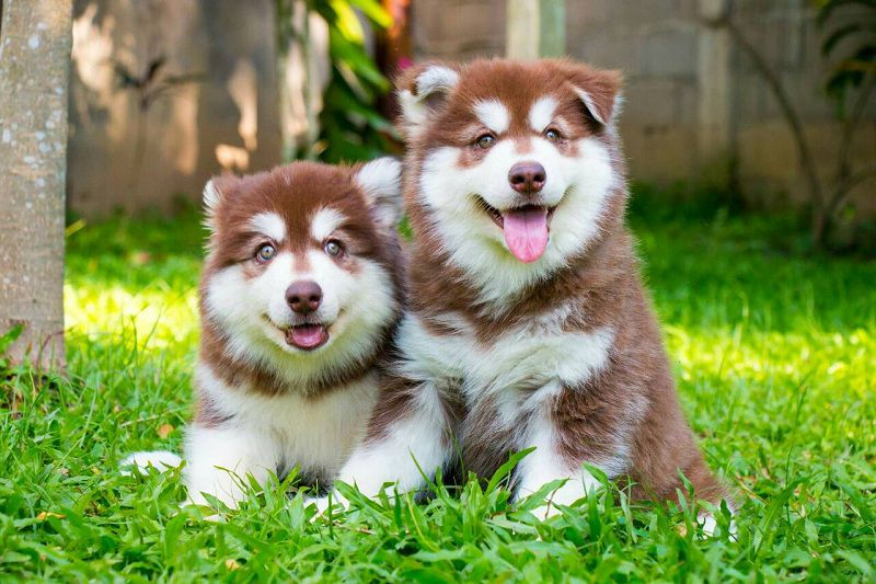 Alaskan Malamute price range. How much is an Alaskan Malamute Puppy?