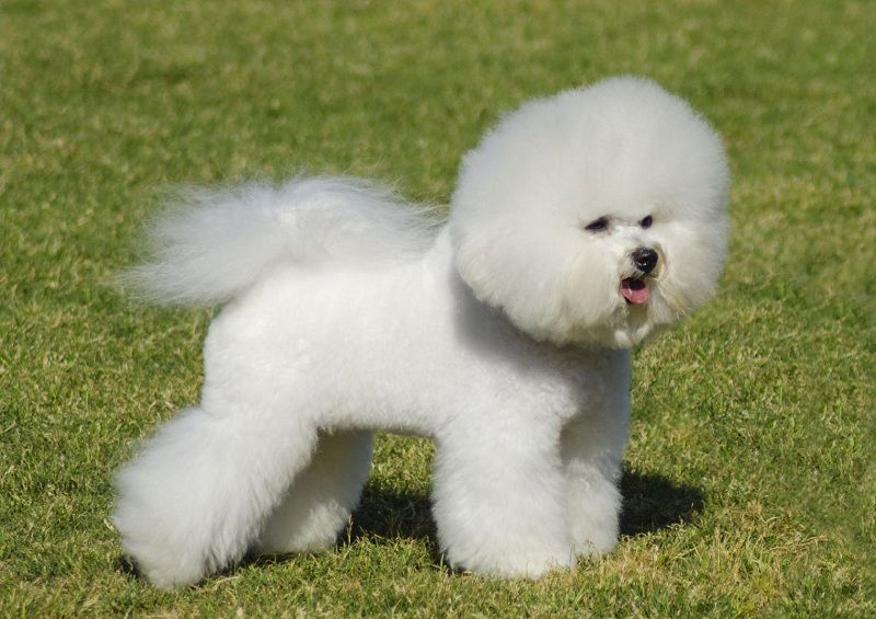 Bichon Frise puppies price range. How much do Bichon Frise cost?