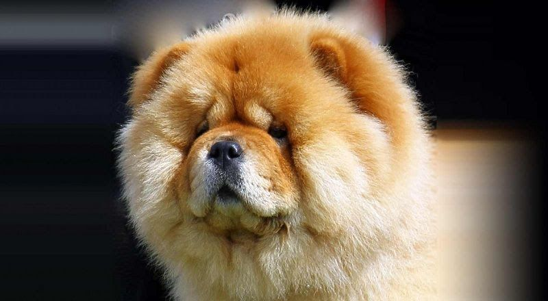 Chow Chow dog price range. How much does a Chow Chow cost?