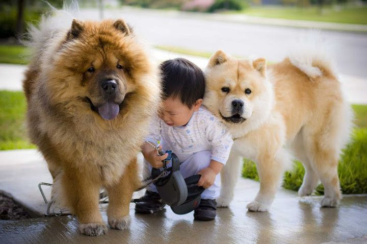 Chow Chow temperament & characteristics. Chow Chow dog breed information
