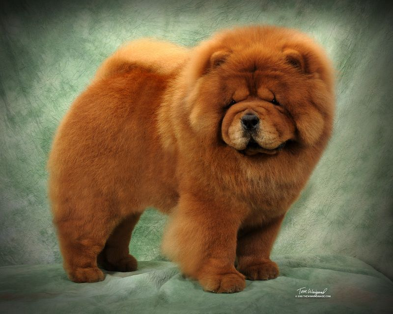 Chow Chow Origin & history - Lion Dog of Tang Empire (China)