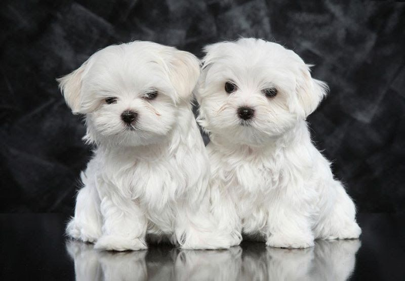 Maltese price range. Maltese cost. How much are Maltese puppies?