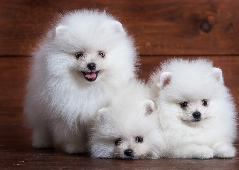 Pomeranian price range & cost. How much are pomeranian puppies?