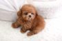 Teacup & Toy Poodle price range. Standard & Miniature Poodle price