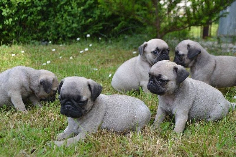 Pug dog price range & Annual Pug puppies cost. How much are Pug puppies?
