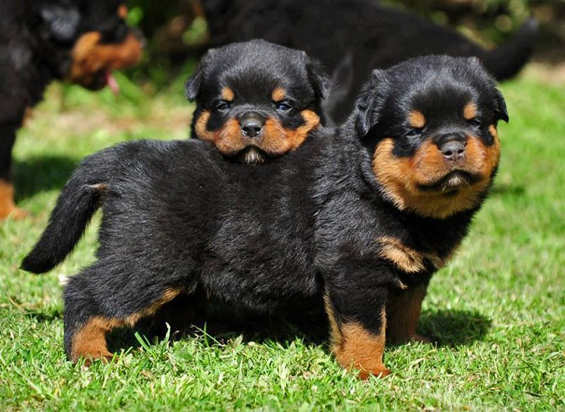 Rottweiler Puppies For Sale Price Cost Where To Buy Rottweiler