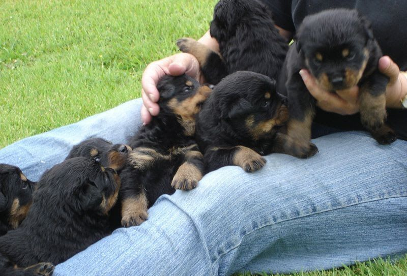 Rottweiler puppy price range. How much does a rottweiler puppy cost?