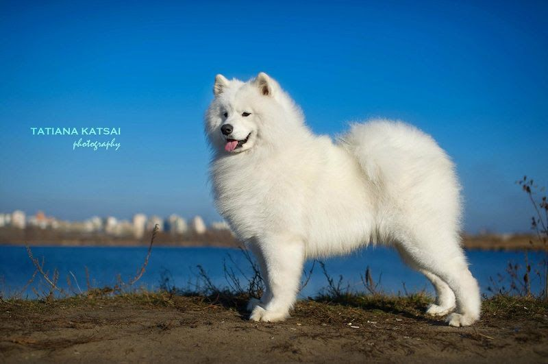 Samoyed puppy price range & cost. How much are samoyed puppies?