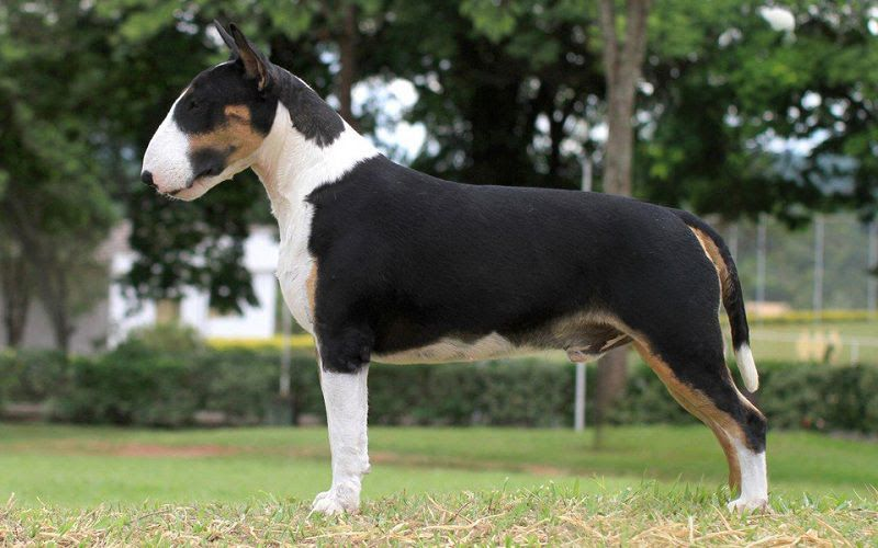 Bull Terrier price range. How much does a Bull Terrier puppy cost?