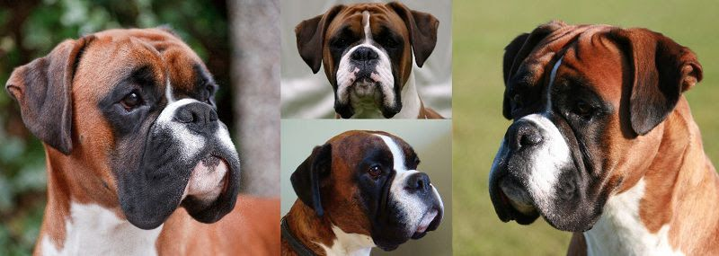 Boxer dog price range. Boxer puppy cost. How much are boxer puppies?