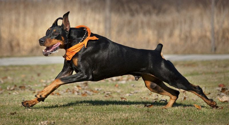 Doberman puppies price range. How much does a Doberman dog cost?