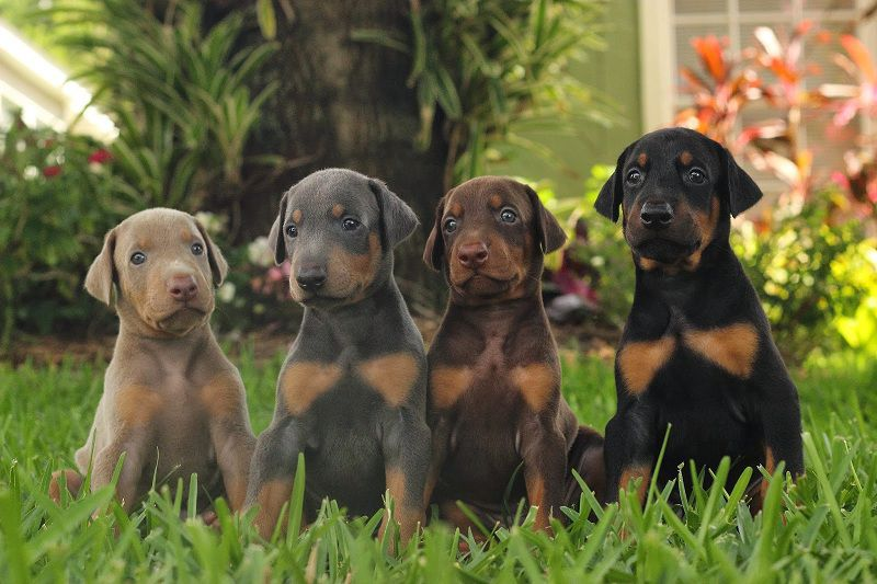 Doberman Puppies Price Range How Much Does A Doberman Dog Cost