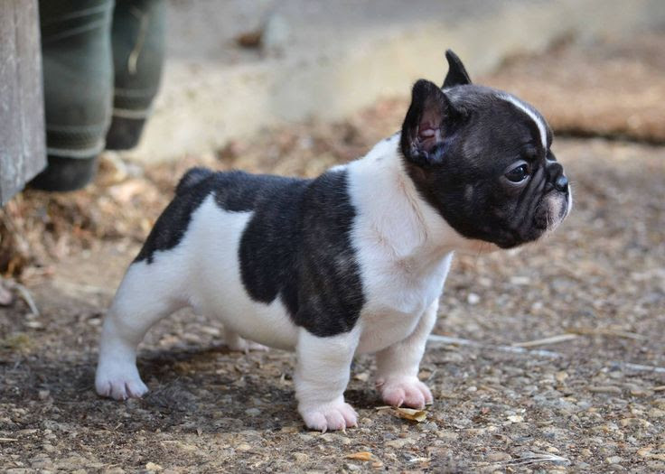 Purebred French Bulldog price range. How much do French Bulldog puppies cost?