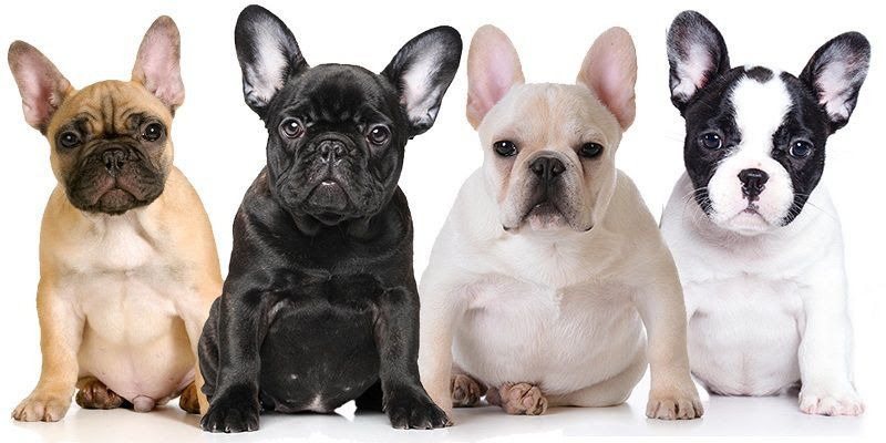 French Bulldog puppies price range. How much do French Bulldogs cost?
