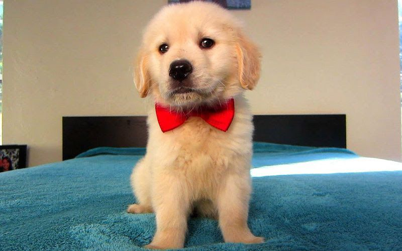 Golden Retriever puppies price range. How much does a Golden cost?